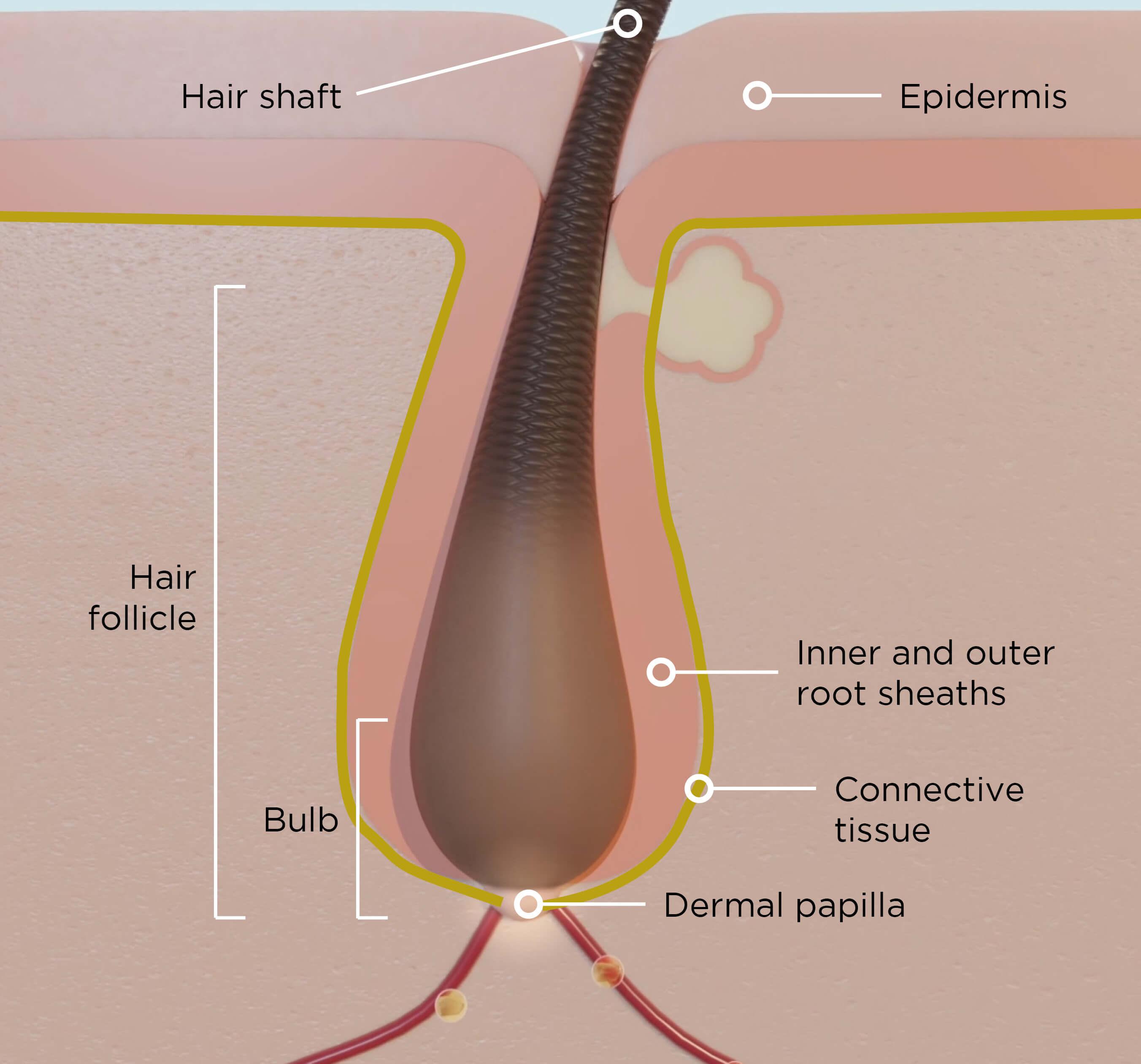Anatomie du cheveu - Keranat™